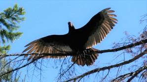 16 juin (1) Vulture Mt Shasta